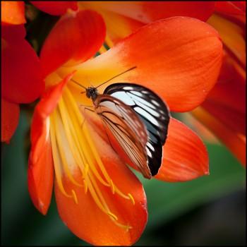 Bildnummer Sch 001  Schmetterling Jane-Pohl
