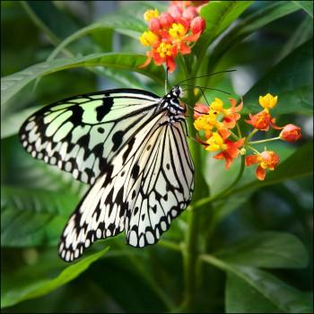 Bildnummer Sch 003 Schmetterling