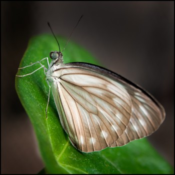 Bildnummer Sch 004  Schmetterlinge Jane Pohl DSC 6089