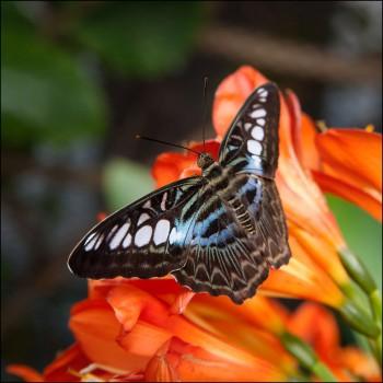 Bildnummer Sch 005  Schmetterling