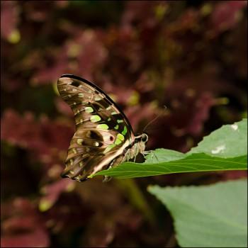 Bildnummer Sch 008 Schmetterling