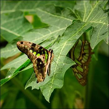 Bildnummer Sch 010 Schmetterling