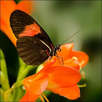 Bildnummer Sch 011 Schmetterling