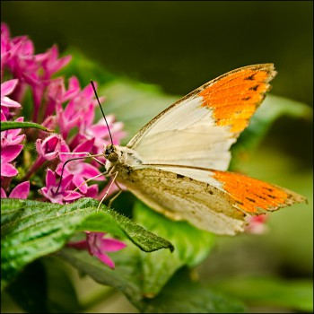 Bildnummer Sch 012 Schmetterling