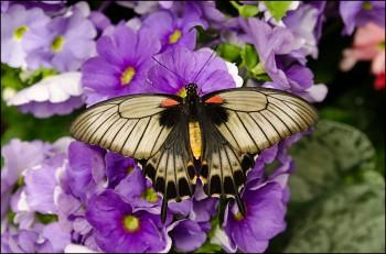 Bildnummer Sch 013 Schmetterling
