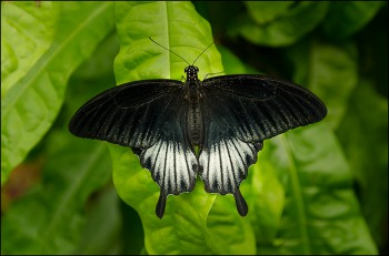 Bildnummer Sch 014 Schmetterlinge