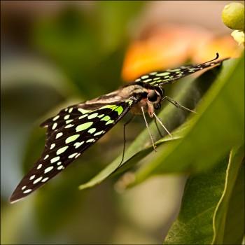 Bildnummer Sch 018  Schmetterling